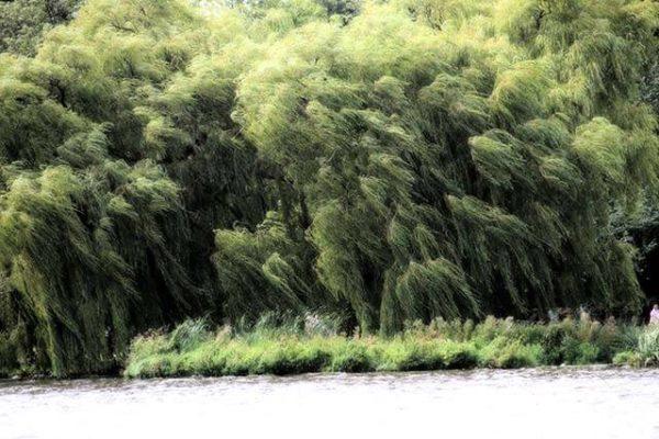 Bäume im Wind an der Alster