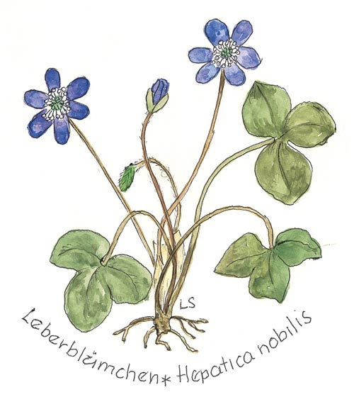 Loki Schmidt Stiftung kürt Leberblümchen zur Blume des Jahres 2013