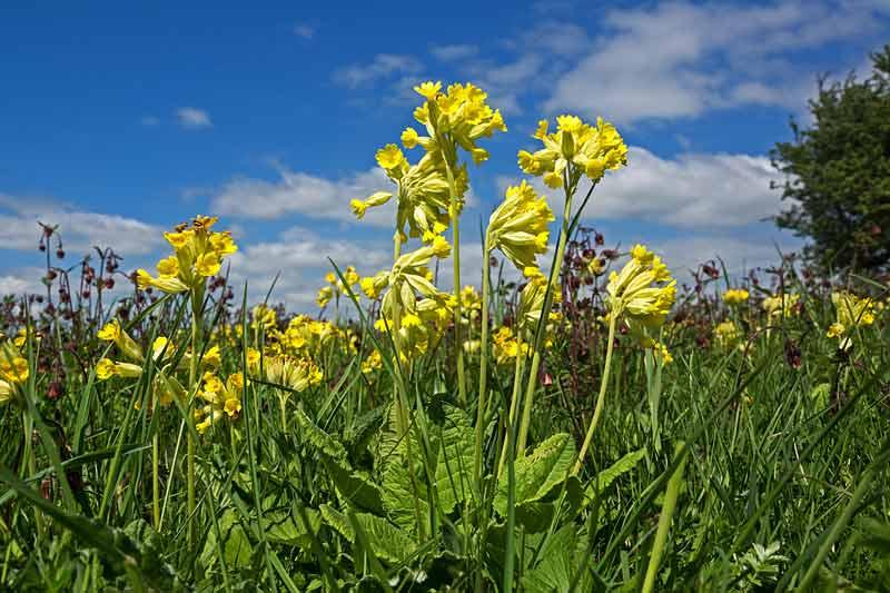 Die Wiesen-Schlüsselblume ist die Blume des Jahres 2016