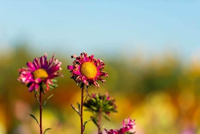 Blumen-Erzeugung und Wassermangel