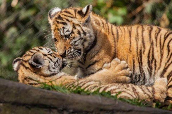 Tigerbabys beim Herbstferien-Programm in Hagenbeck