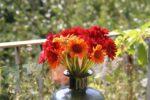 Geranien in Blumen-Vase